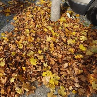 Bladeren esdoorns Louis Callebautstraat 06 voetpad-straat