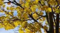 Bladeren esdoorns Louis Callebautstraat 11 herfsttooi